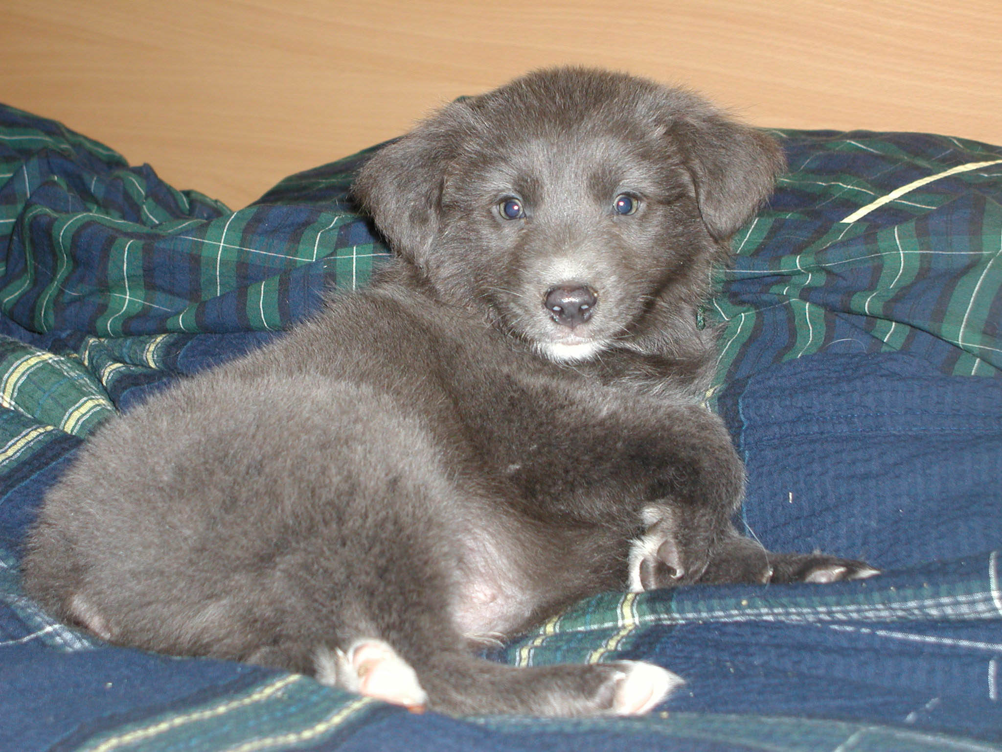 dilute color and dilution spots australian shepherd