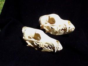 Fig 4 - coyote (L) and Australian Shepherd (R)