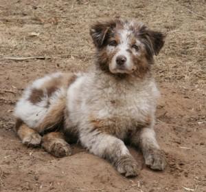 Aussie  Muddy Pup Monti