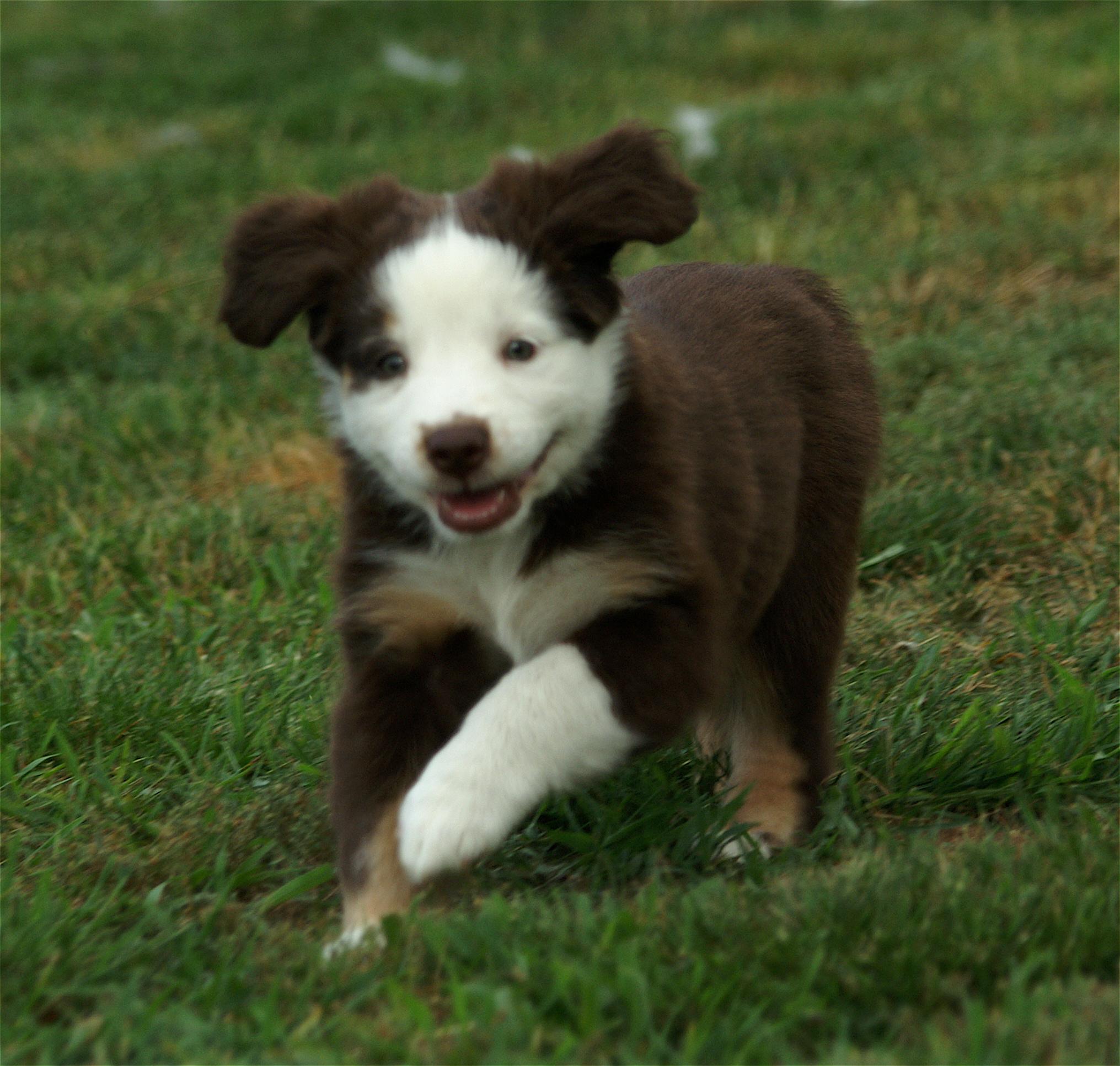 Excess White Australian Shepherd Health Genetics Institute