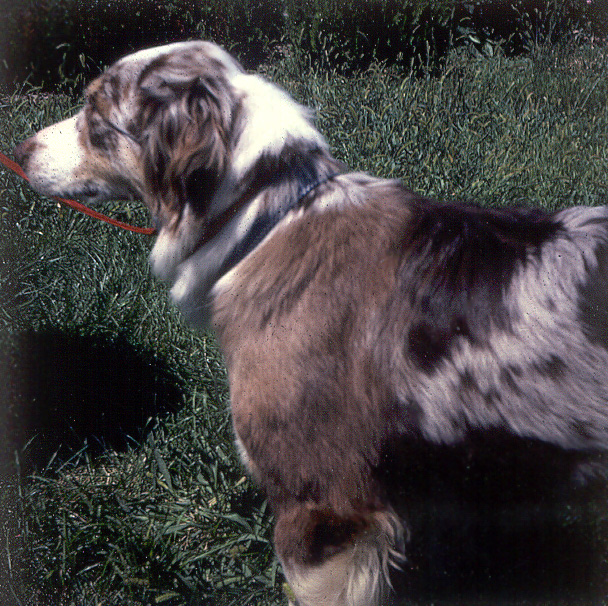 Dilute Color And Dilution Spots Australian Shepherd Health